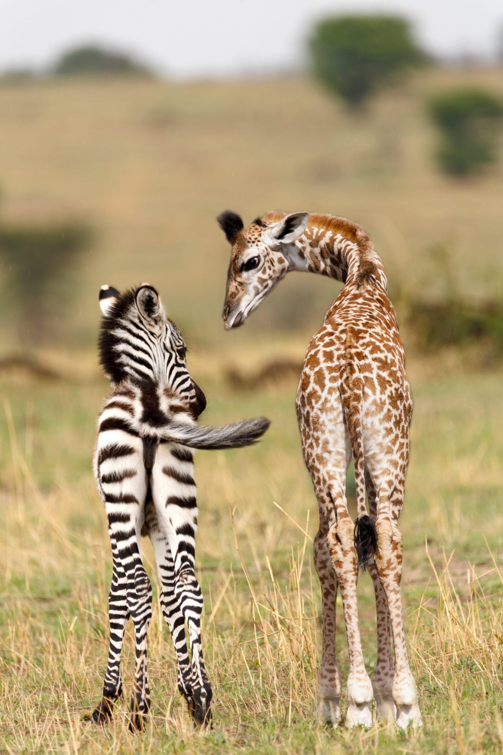 Voir des guépards en Tanzanie